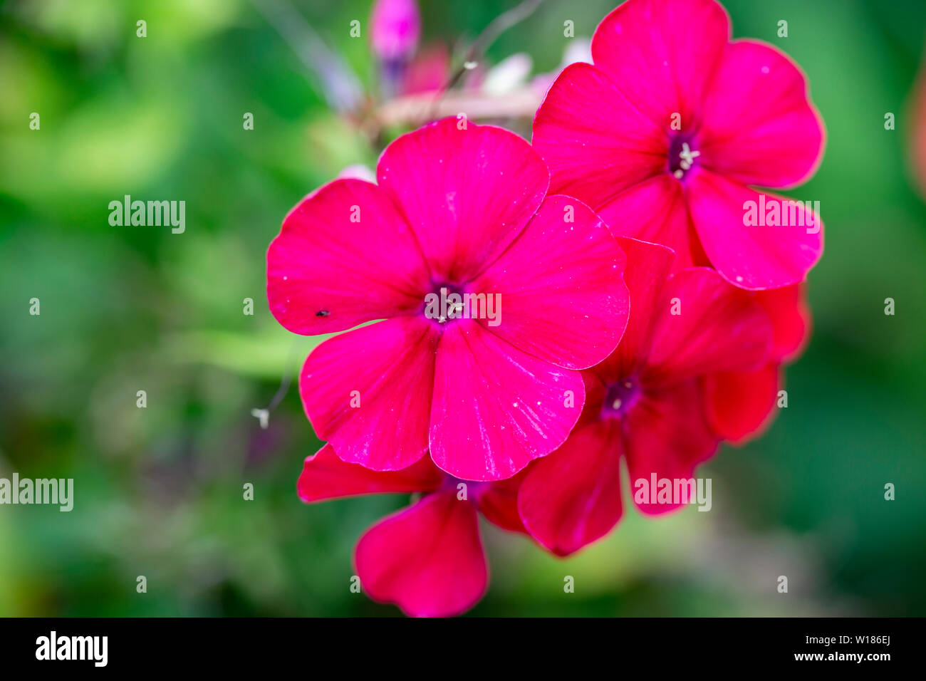 Red dark pink Blossoms of Pelargonie, geranium - Stock Image