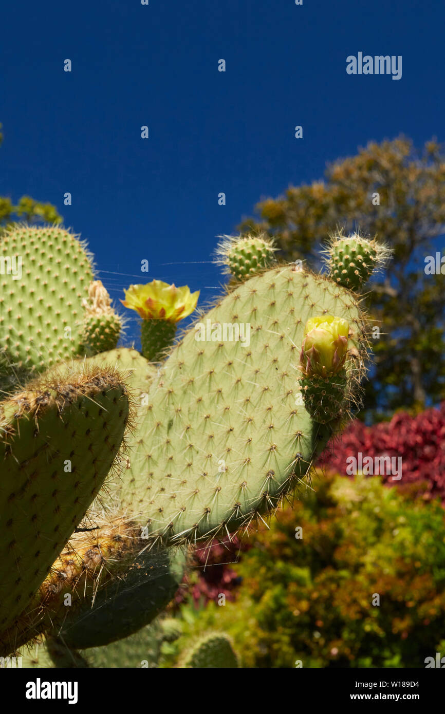 Prickly pear cactus with flowers against a clear blue sky in the Santa Catarina Park, Funchal, Madeira, Portugal, European Union - Stock Image