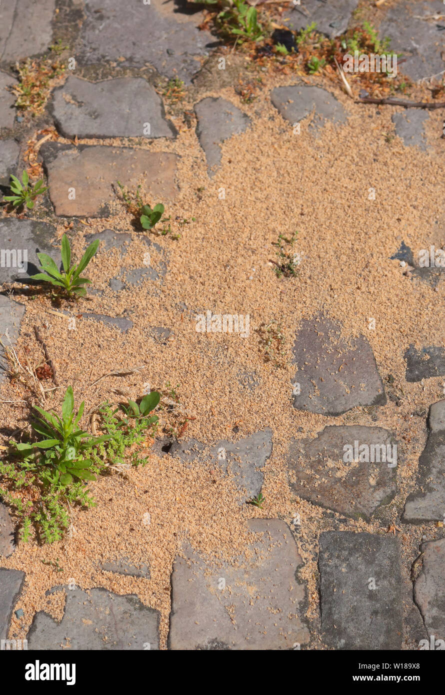 Ant nest on a walkway in Berlin - Stock Image