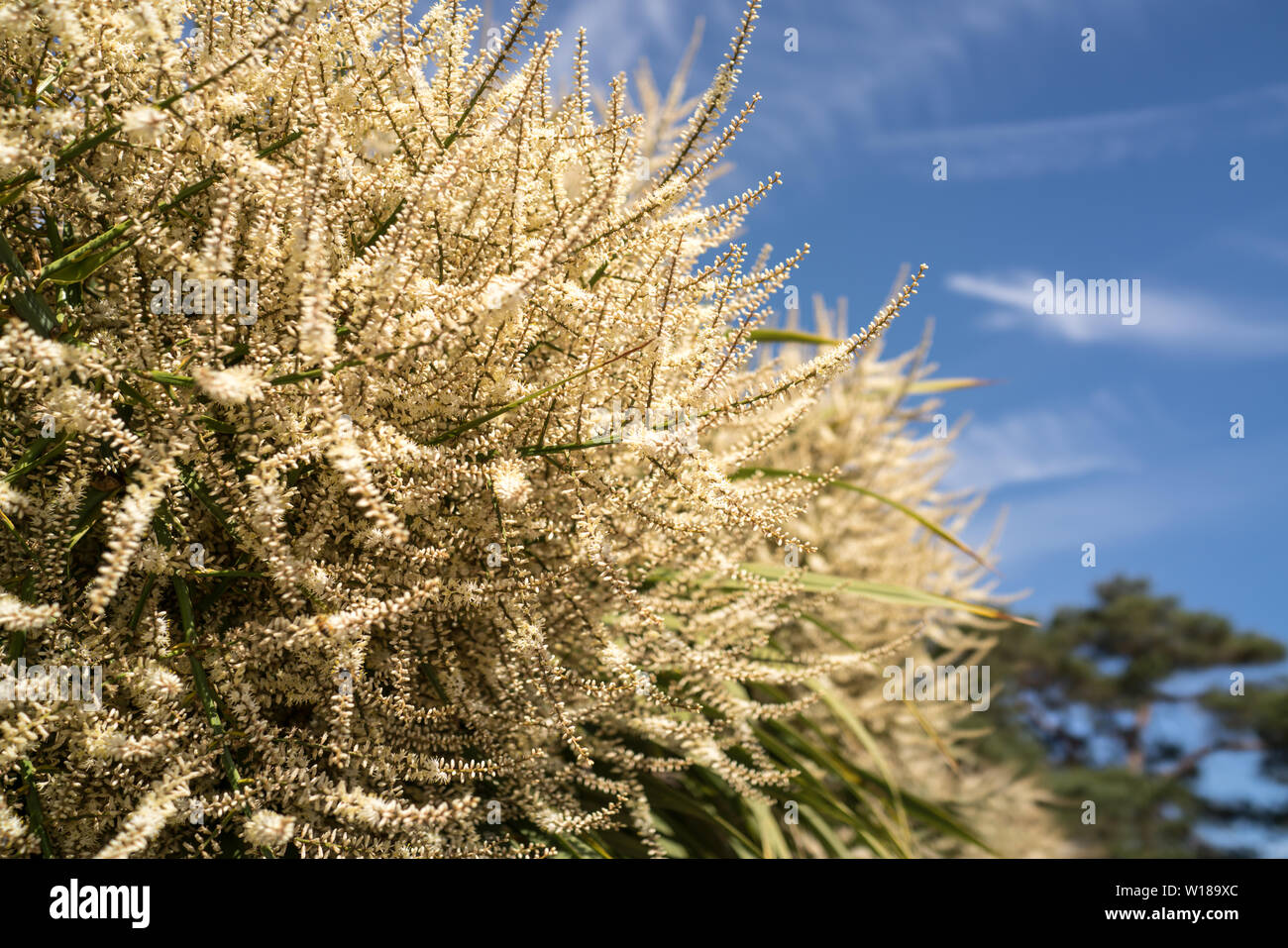 Cordyline Australis Flowering High Resolution Stock Photography And Images Alamy