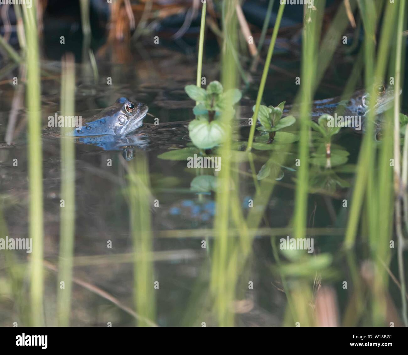 Common frog (Rana temporaria) in garden pond - Stock Image