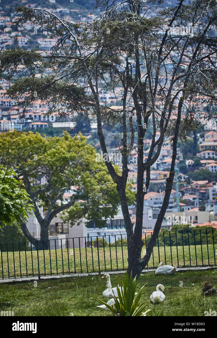 Sapling and swans in Santa Catarina Park with white houses in the background, Funchal, Madeira, Portugal, European Union - Stock Image