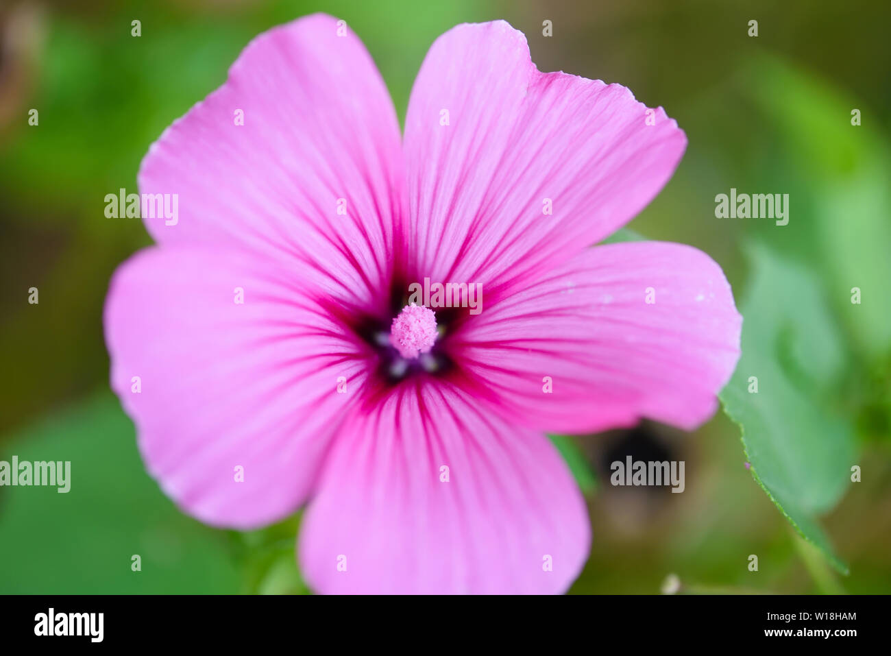 Pink blooming hollyhock mallow (Malva alcea) close-up Stock Photo