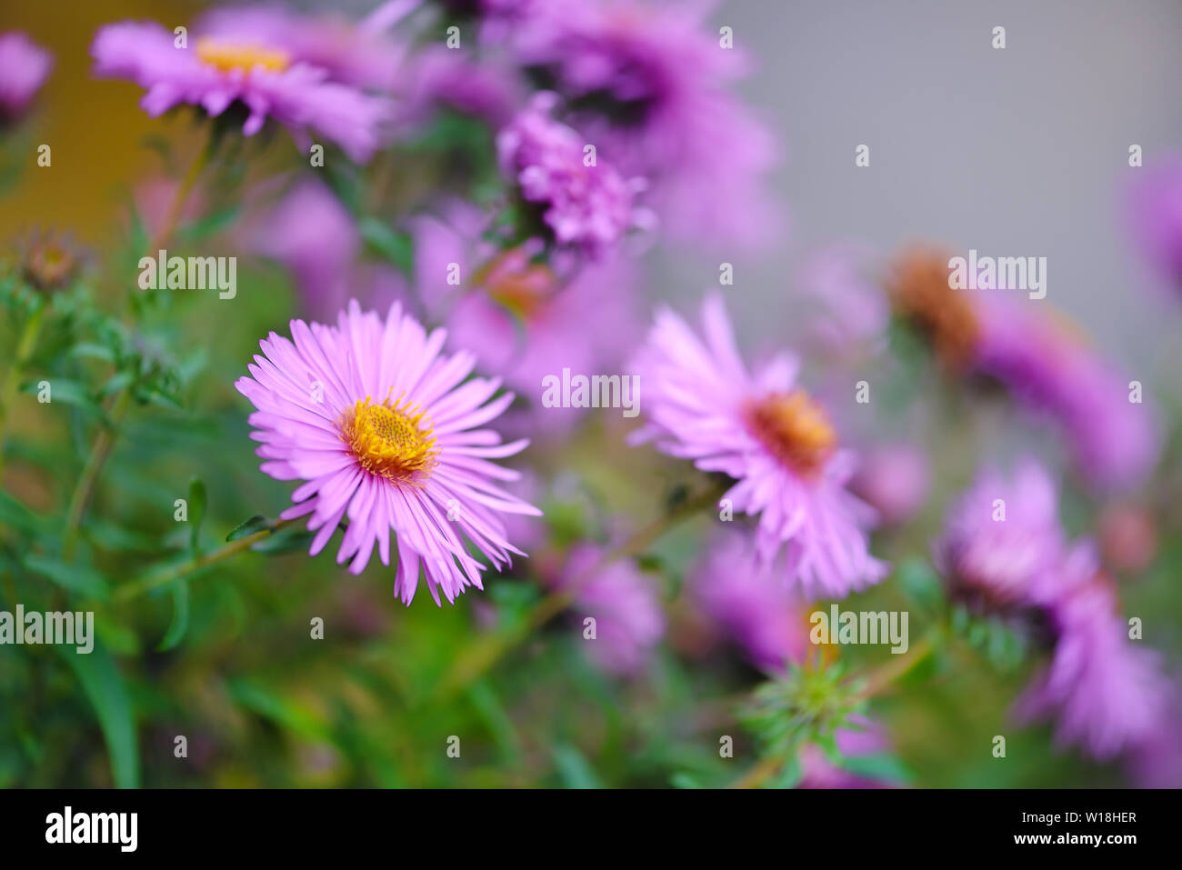 Autumn Flowers Botanical Name Aster Novi Belgii Or