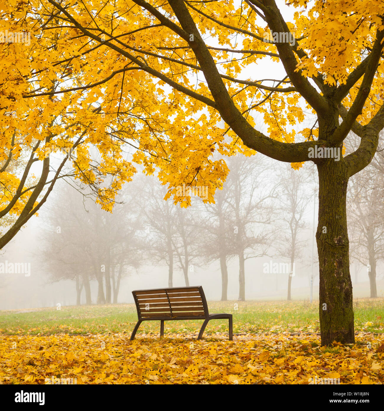Colorful Foggy Autumn Park With Bench And Yellow Maple Tree