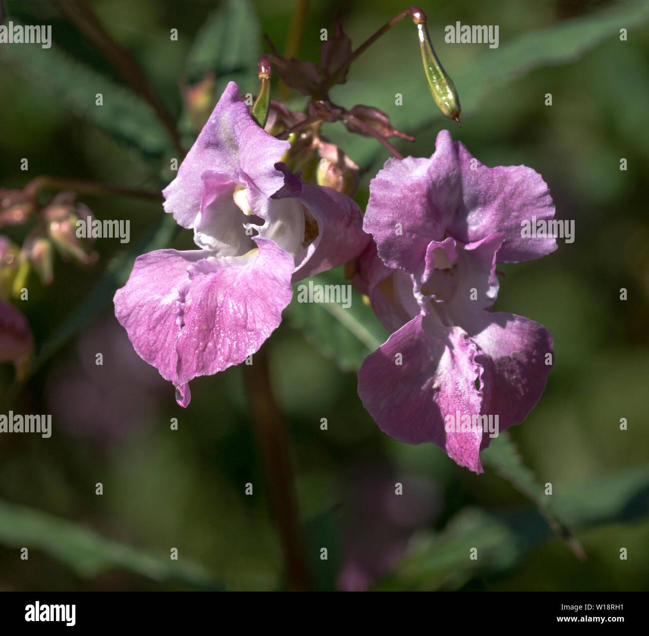 Flowers of the Himalayan Balsam (Impatiens glandulifera). Stock Photo