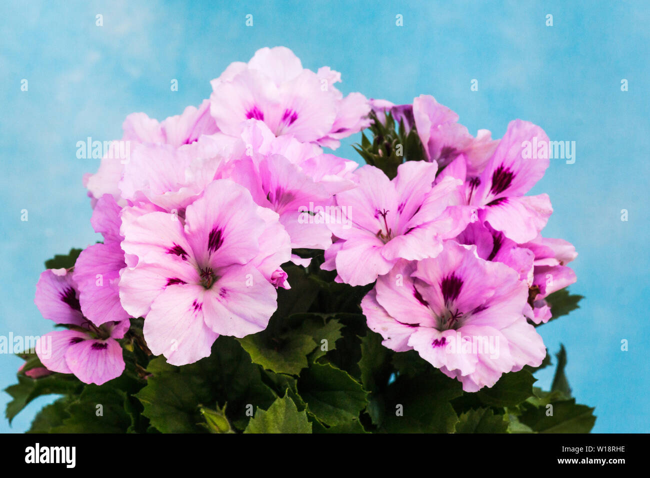 Regal Pelargoniums Stock Photos Regal Pelargoniums Stock Images