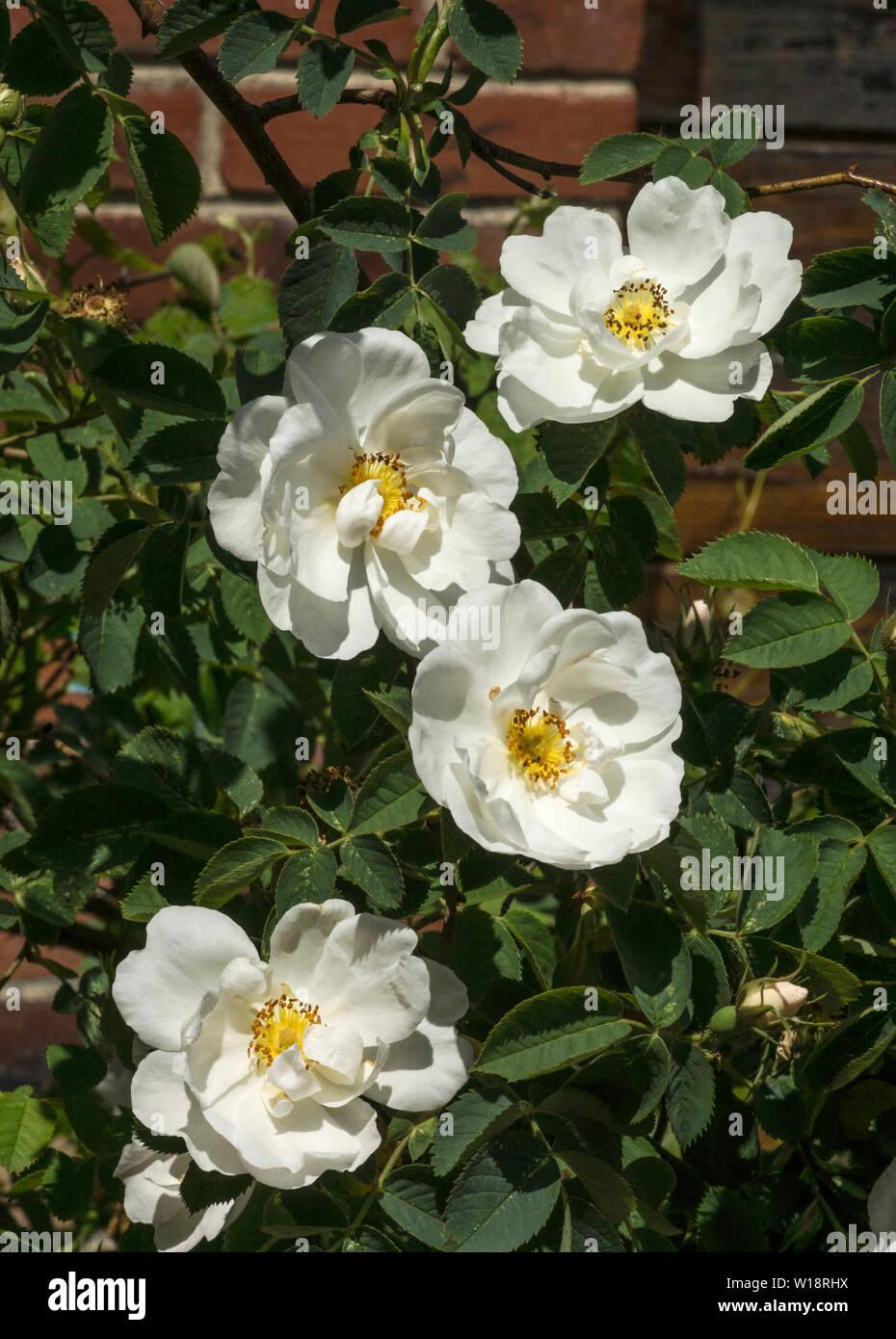Rosa.Rose.White rambler rose. - Stock Image