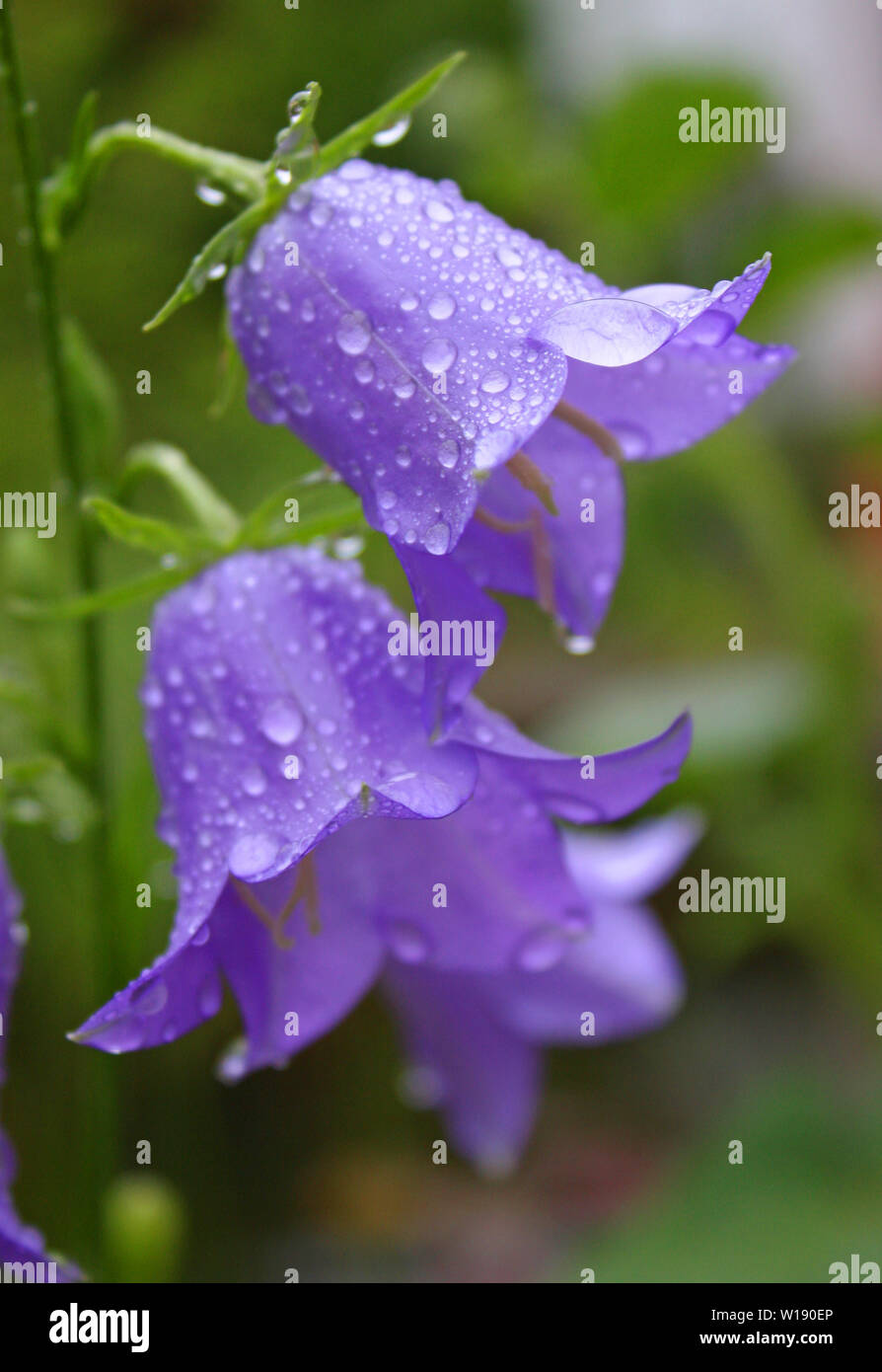 blossom,campanula,bellflower family - Stock Image
