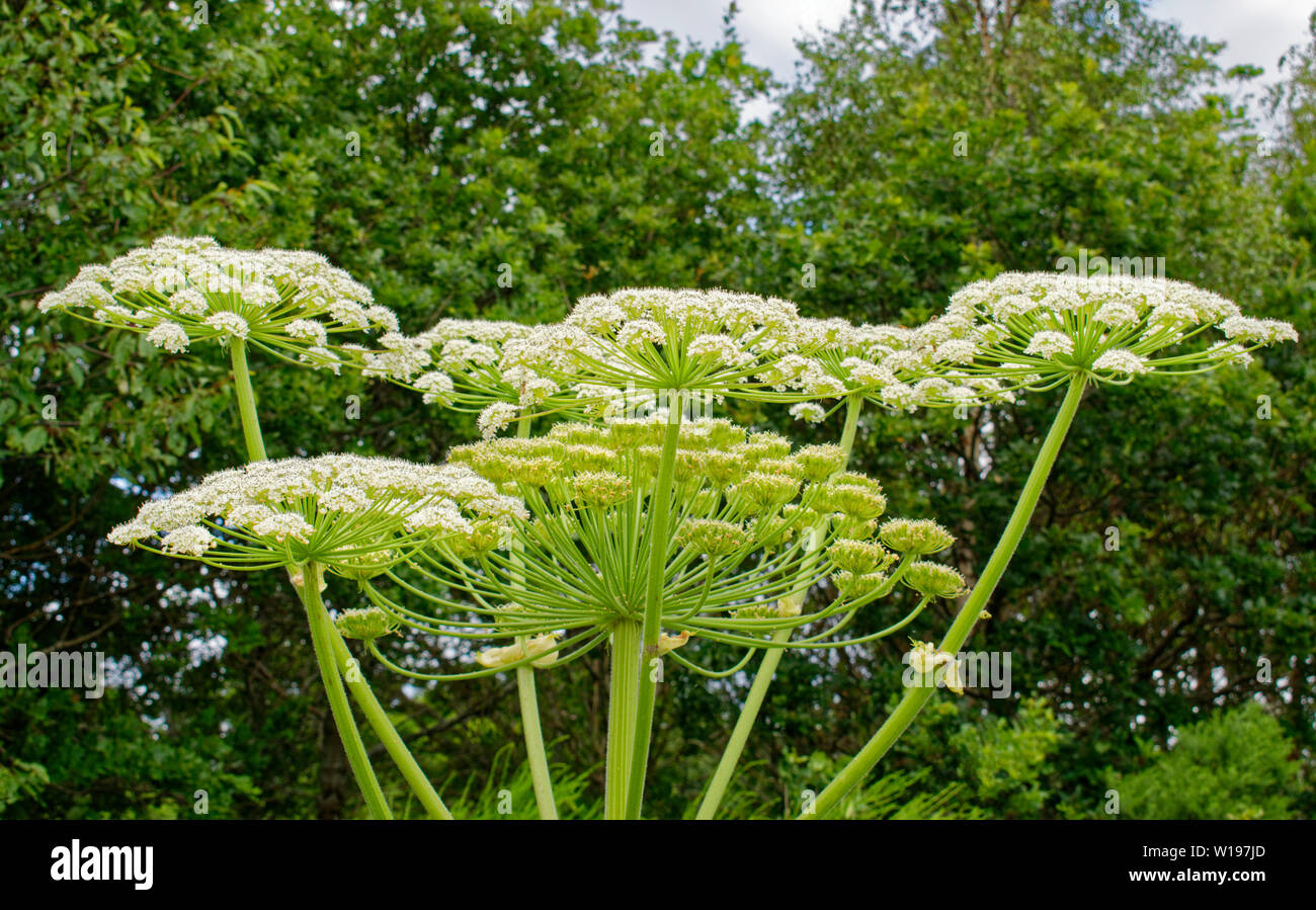 RIVER FINDHORN  SCOTLAND EARLY SUMMER FLOWERS OF THE GIANT HOGWEED Heracleum mantegazzianum Stock Photo