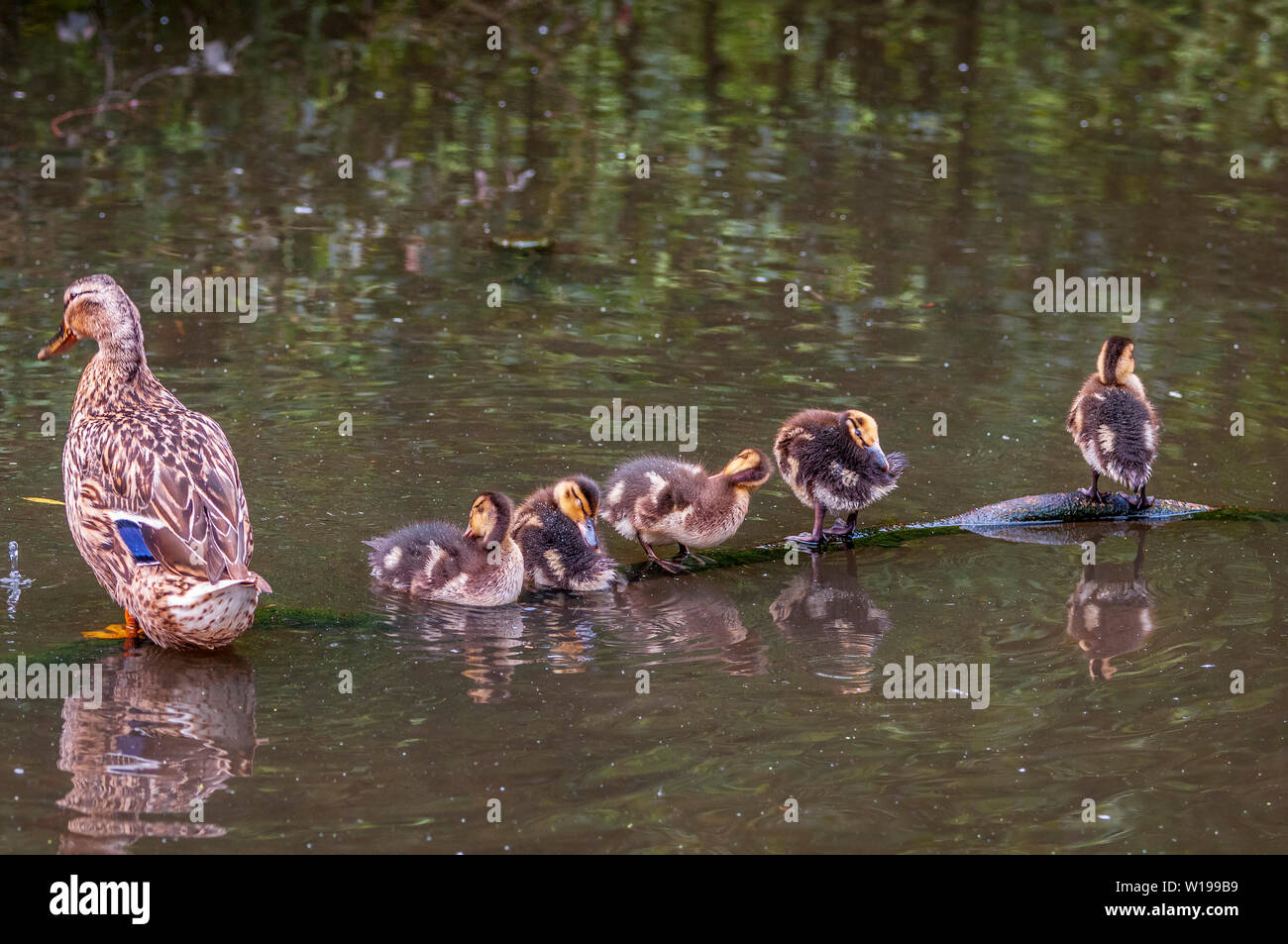 Mallard ducklings sitting on a branch in their pond with mum. - Stock Image
