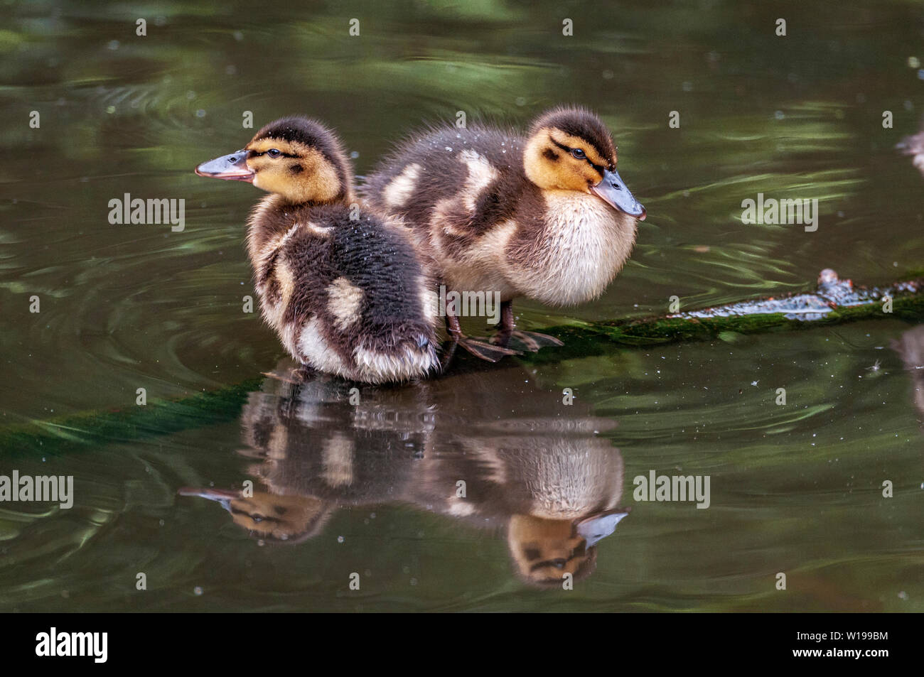 Mallard ducklings sitting on a branch in their pond. - Stock Image