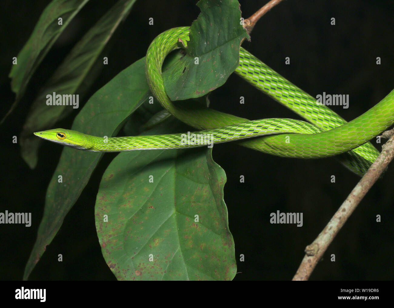 Common vine snake, long-nosed whip snake, Stock Photo