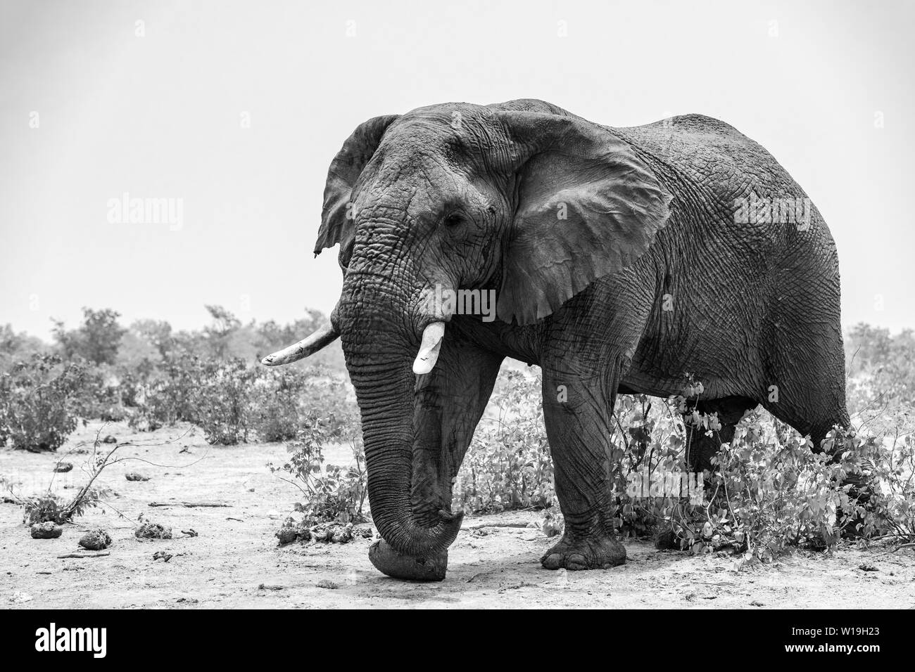 African Bush Elephant - Loxodonta africana, iconic member of African big five, Safari in Etosha, Namibia. - Stock Image