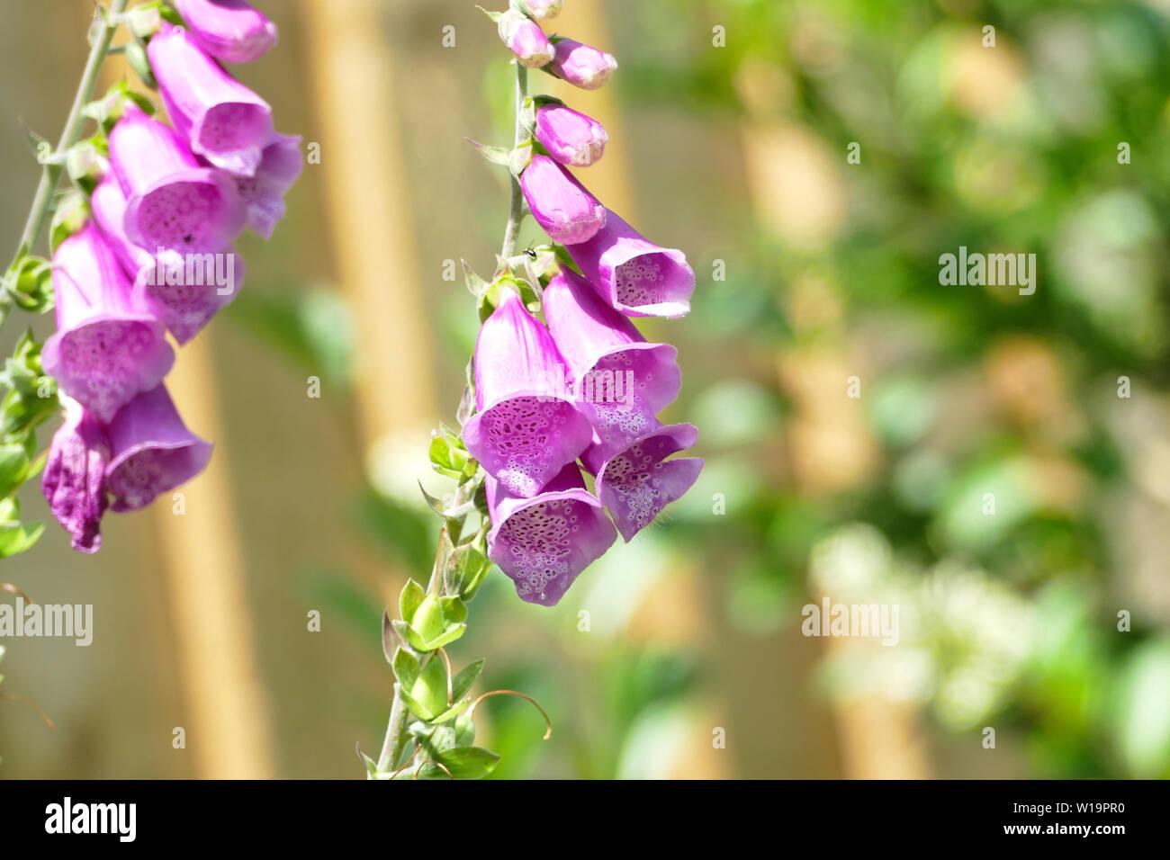 Foxgloves - Stock Image