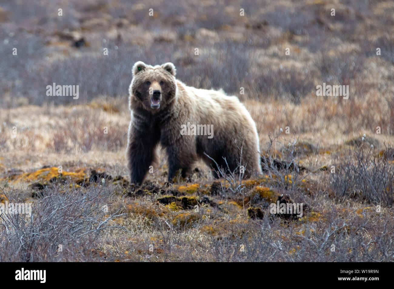 Grizzly Bear [ursus arctos horribilis] in Denali National Park in Alaska United States Stock Photo