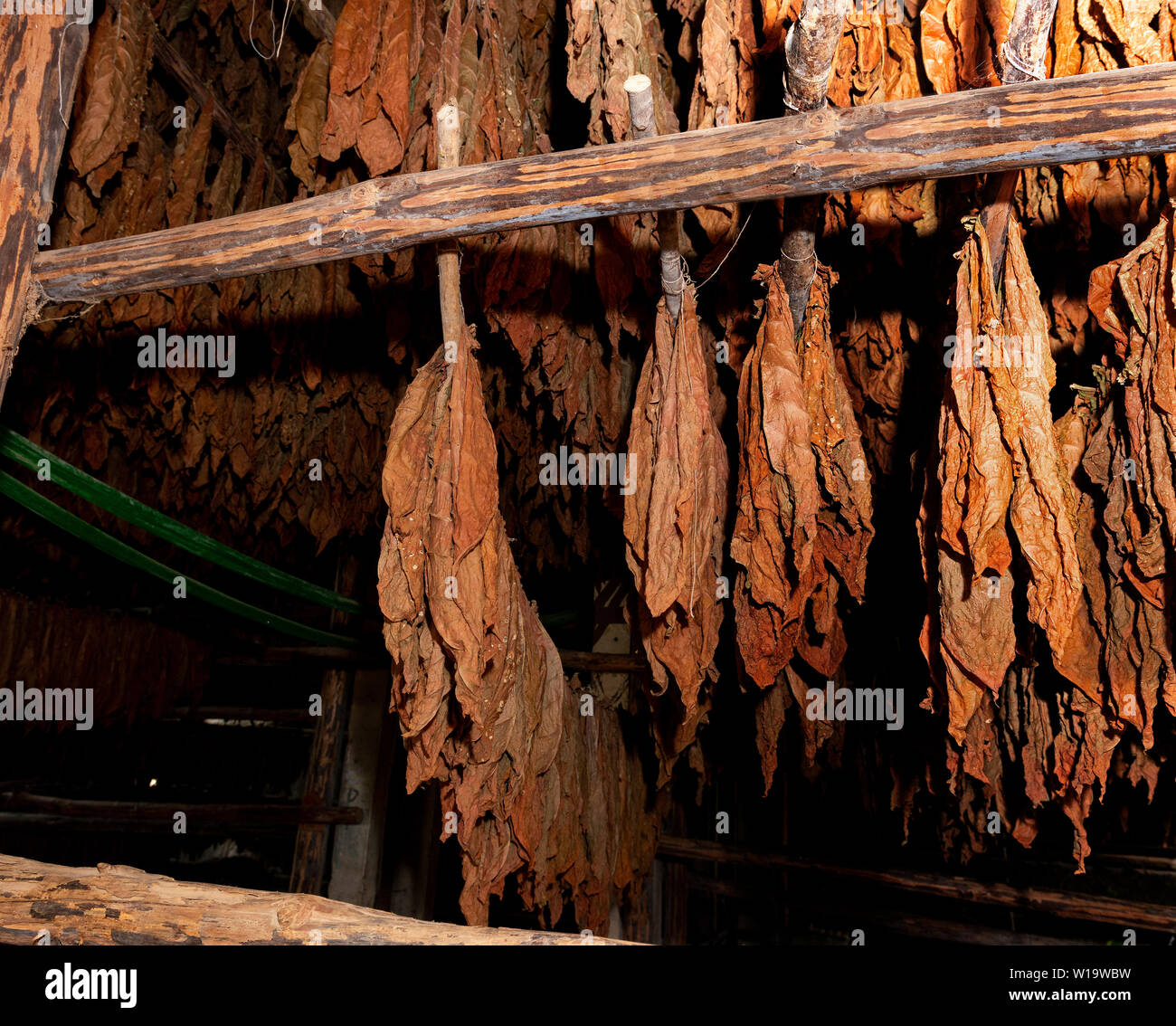 Drying shed full of tobacco leaves being dried in the rural village of San Juan y Martinez, Pinar del Rio Province, Cuba - Stock Image