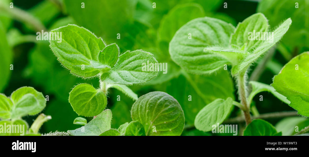 Mint shoots. Peppermint. Spicy herbs. Seasoning. Selective focus, long picture, banner - Stock Image