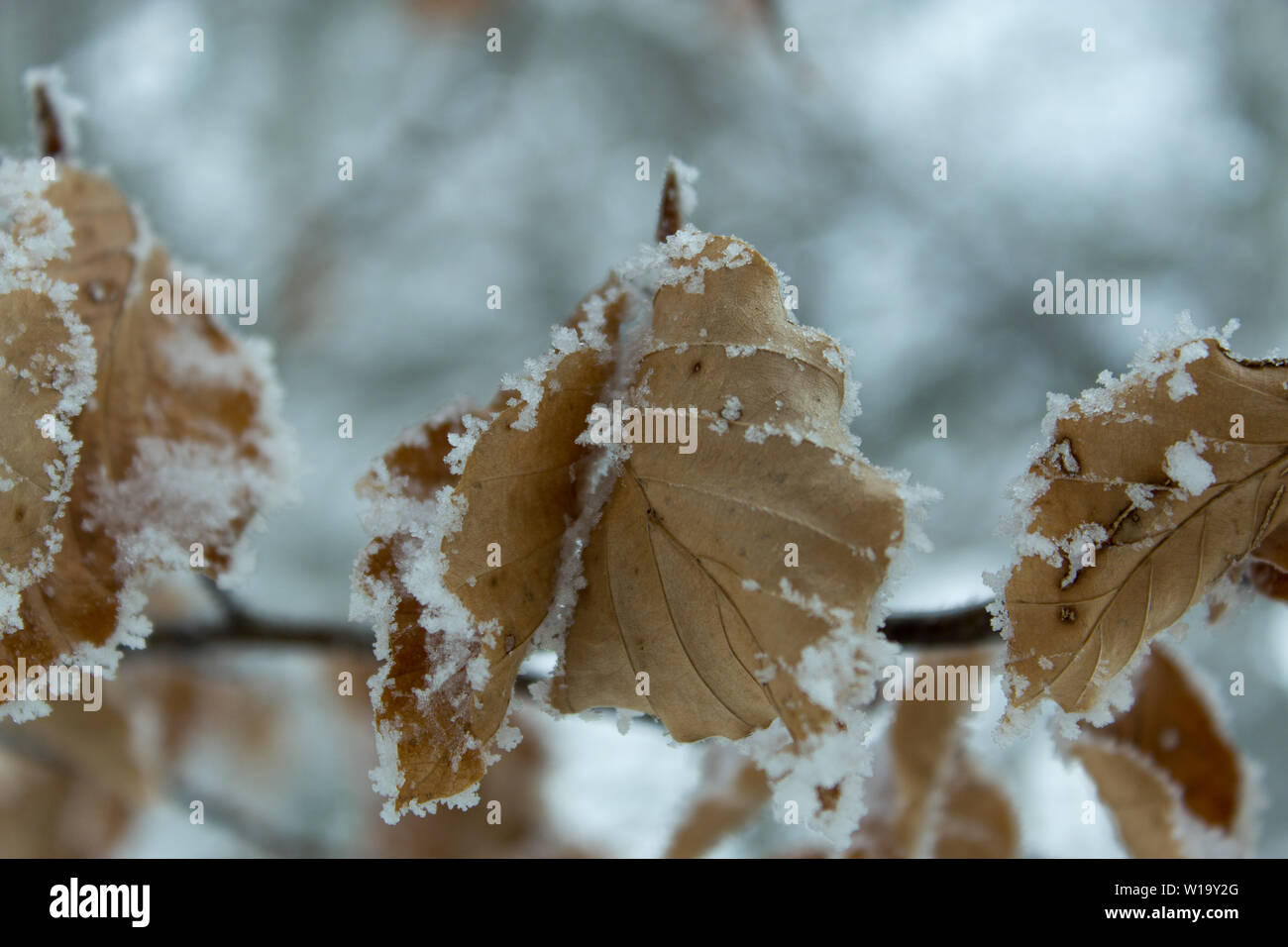 Twiggy leaf in winter with snow Stock Photo