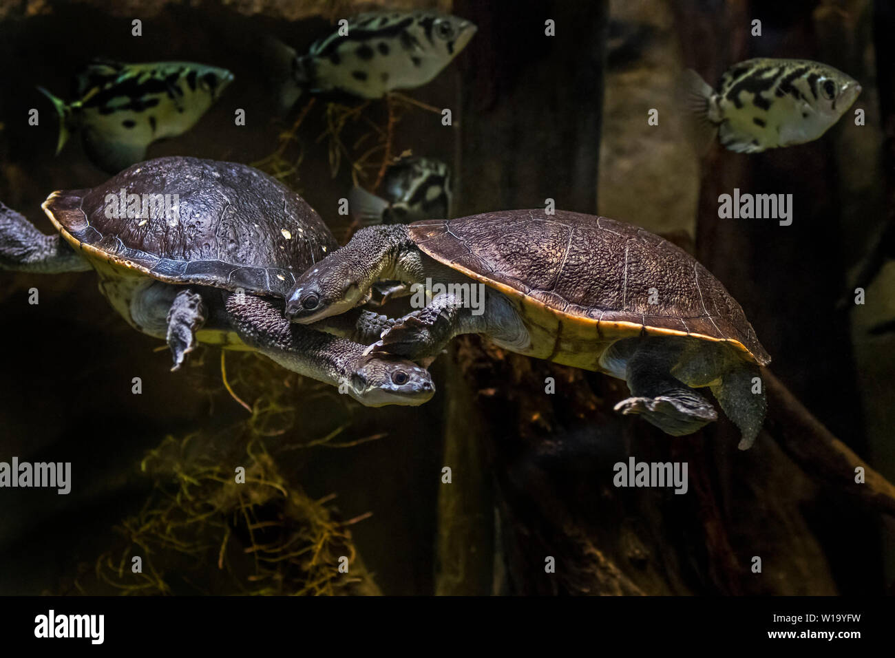 Couple of Roti Island snake-necked turtles / McCord's snakeneck turtle (Chelodina mccordi ) swimming underwater in pond, native to Indonesia - Stock Image