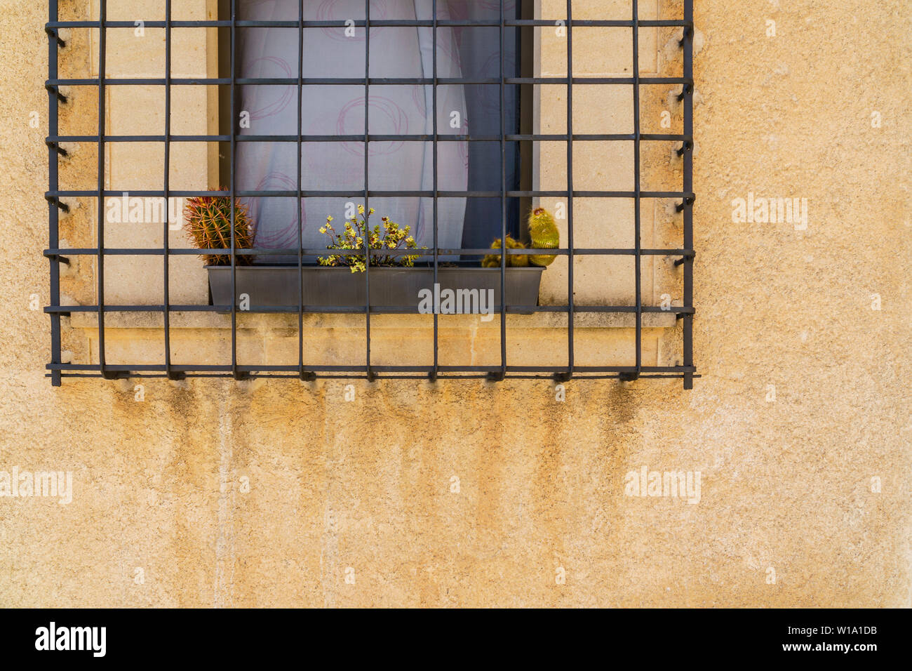 Two cacti and small yellow flowers planted in a row in a gray plant pot behind a metal window grille on an orange house wall with one window. water tr - Stock Image