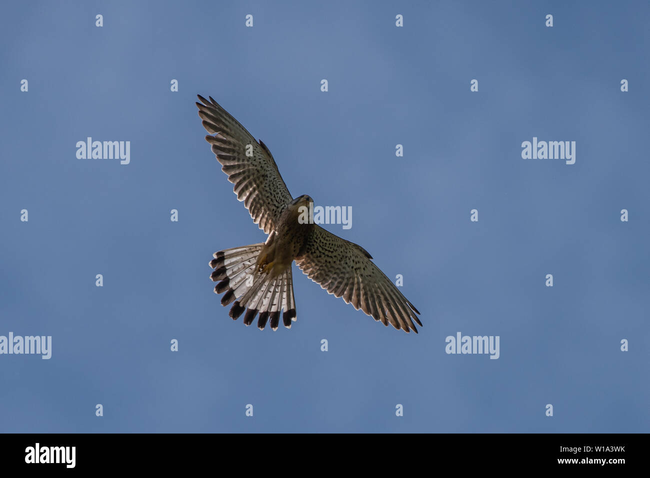 Flying male Kestrel (Falco tinnunculus) with the sun shine through the wide spread tail feathers against a blue sky Stock Photo