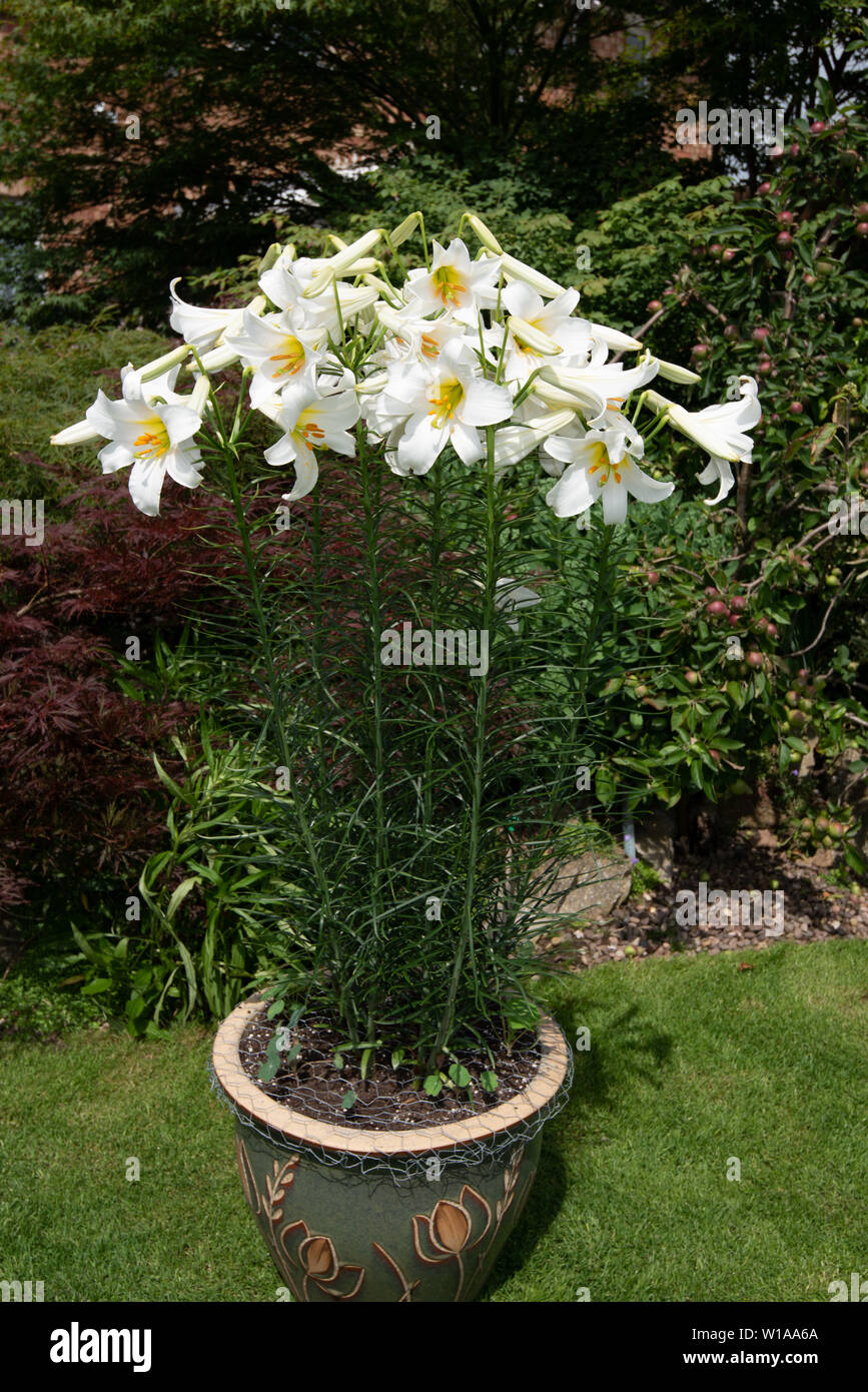 Heavily scented white lily, Lilium candidum 'Madonna lily' - Stock Image