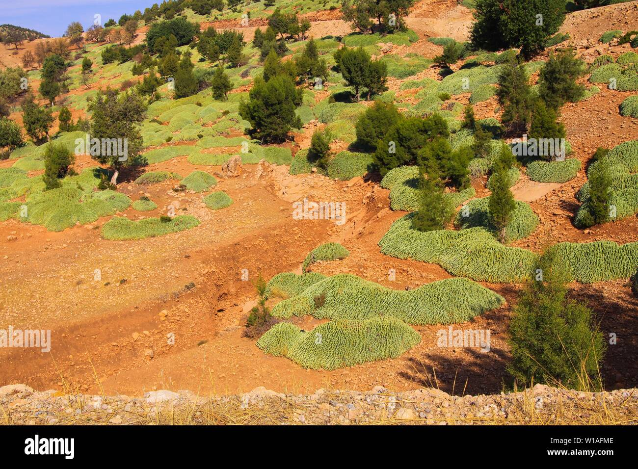 Conifer trees and green moss on red dry ground against blue sky - Ourika valley, Morocco - Stock Image
