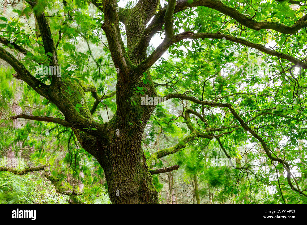 Oak tree in Daresbury Firs against the light with leaves blowing in the wind - Stock Image