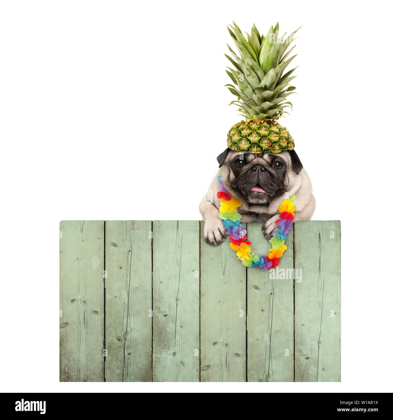 frolic smiling tropical summer pug puppy dog with flower garland, hanging with paws on reclaimed wooden fence board, isolated on white background Stock Photo