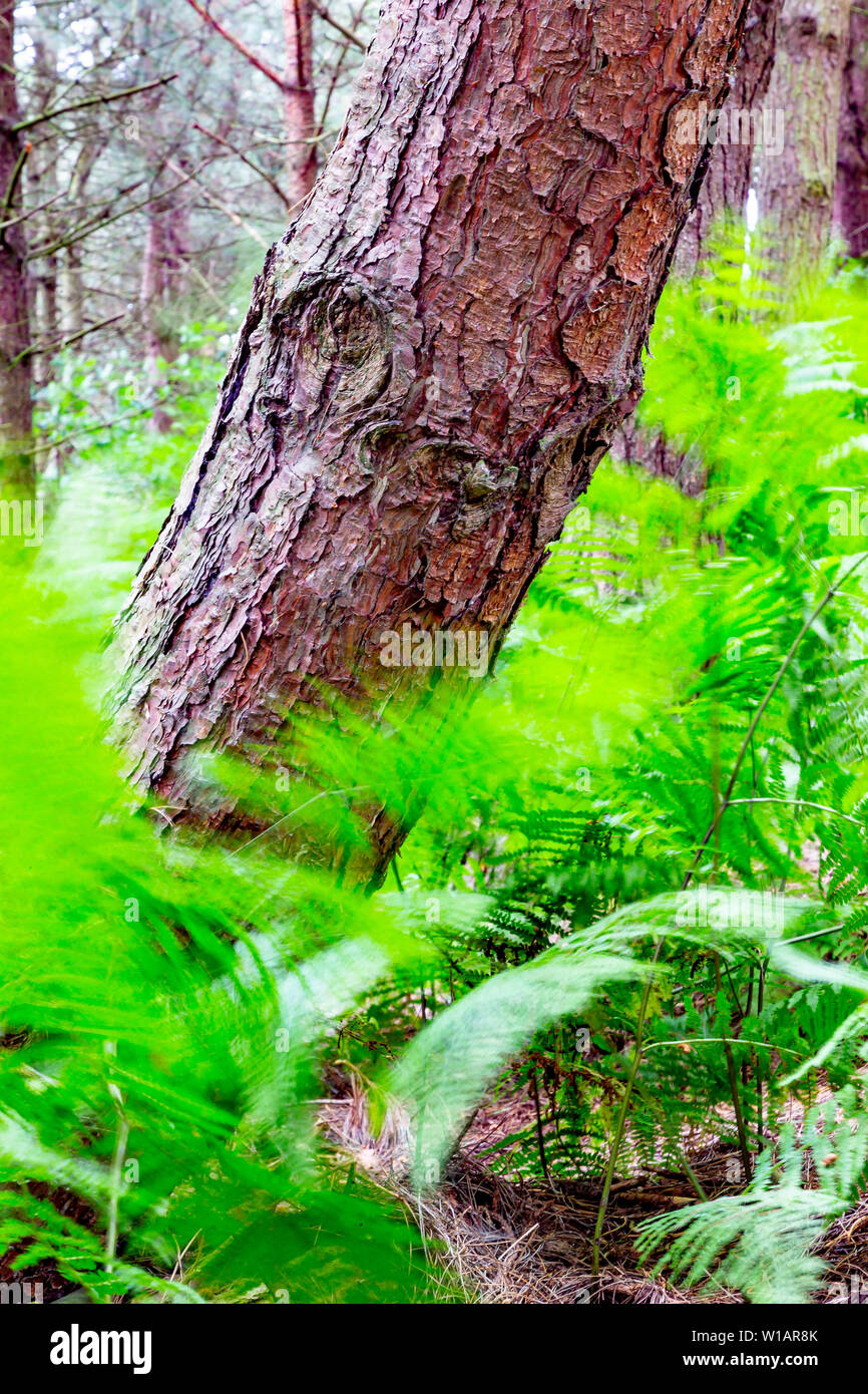 Ferns, moving with the wind at Daresbury Firs, against the trunks of static trees - Stock Image