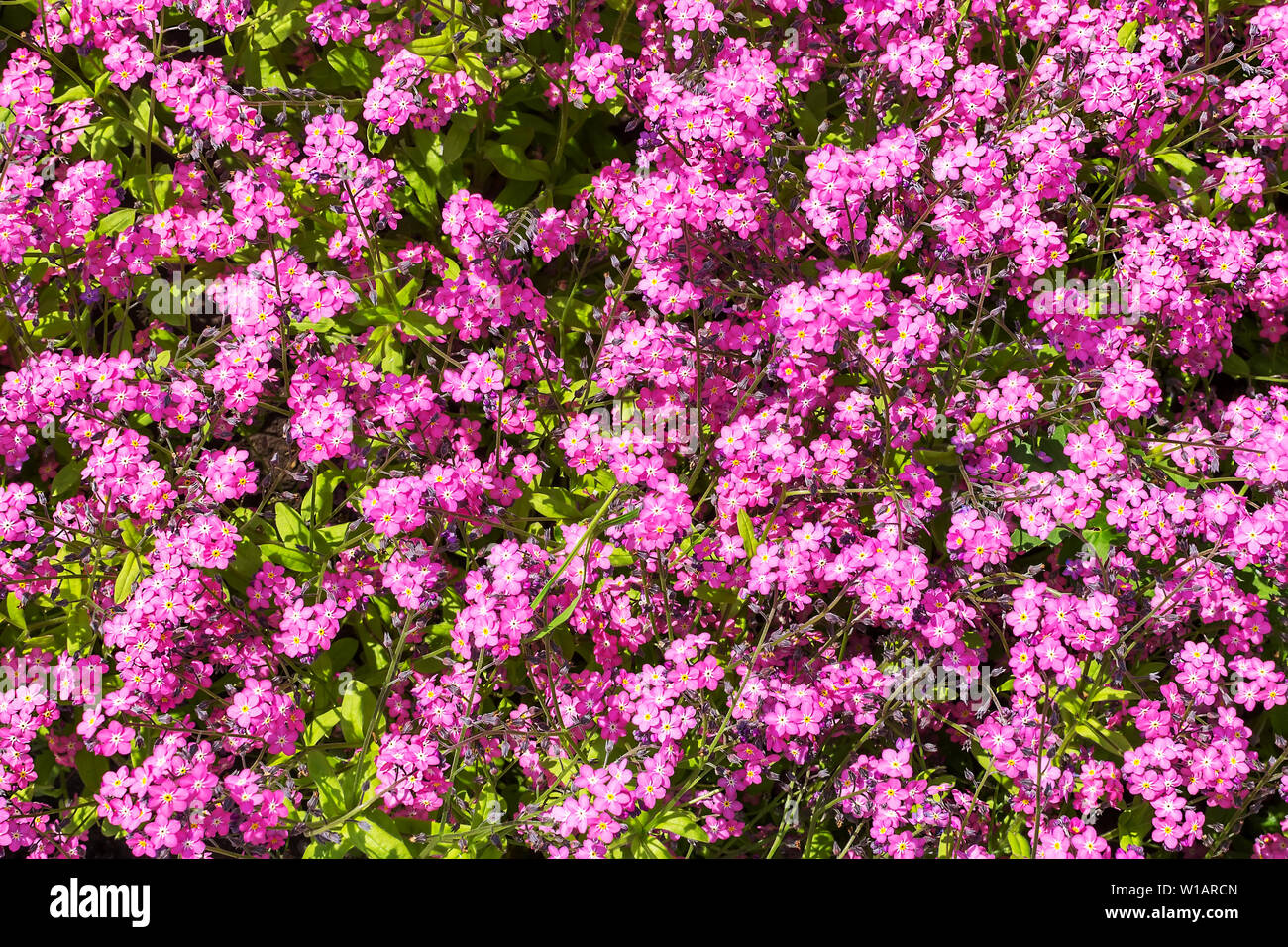 Close-up of forget-me-nots or Myosotis, herb flowerbed plant, blooming with small purple or pink flowers on a sunny day. Nature and botany. Stock Photo