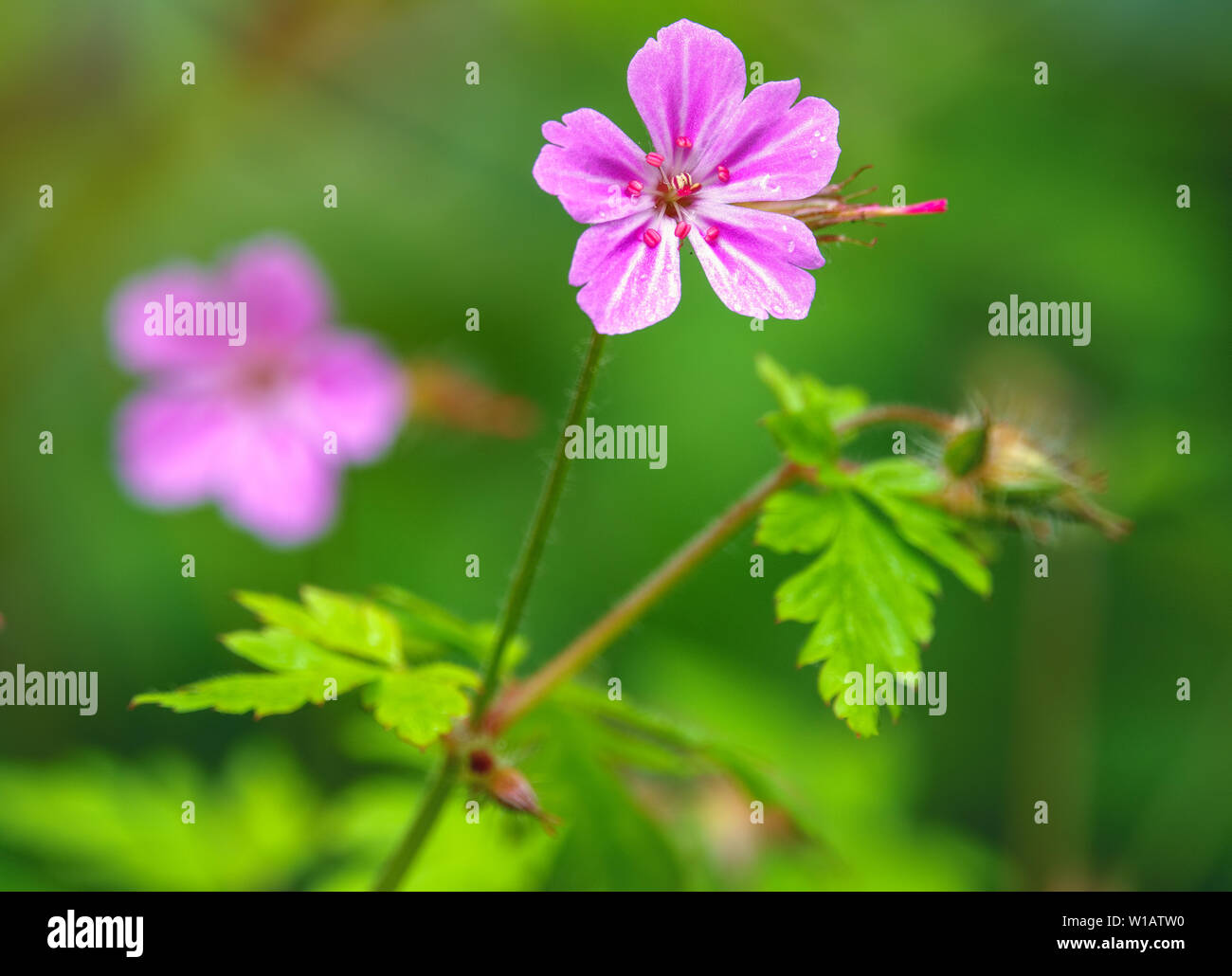 Beautiful purple wild forest flower. Geranium robertianum, or herb-Robert, red robin, death come quickly, storksbill, stinking Bob, squinter-pip, crow Stock Photo
