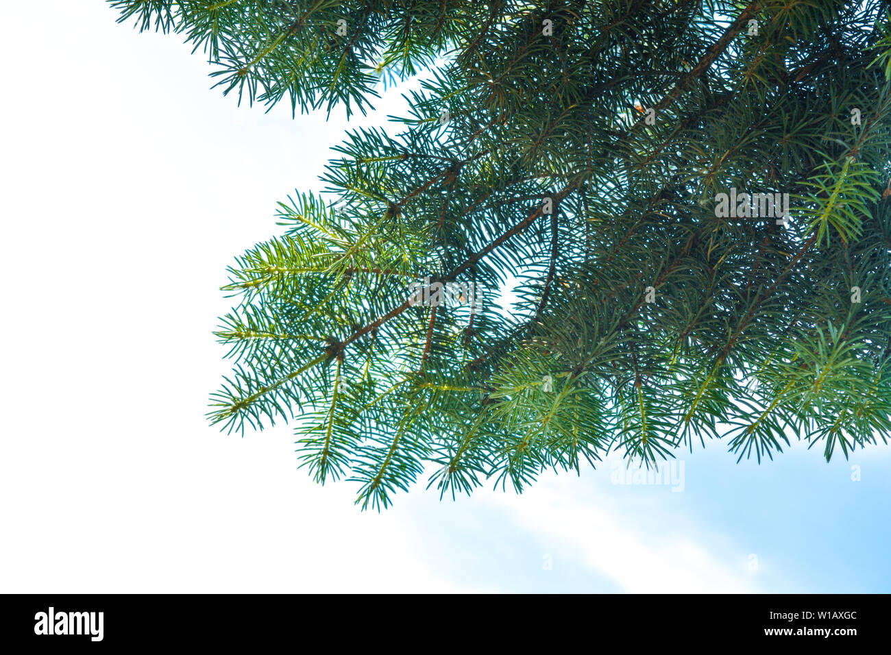 Close-up of blue spruce fir tree branches on blue sky background - Stock Image