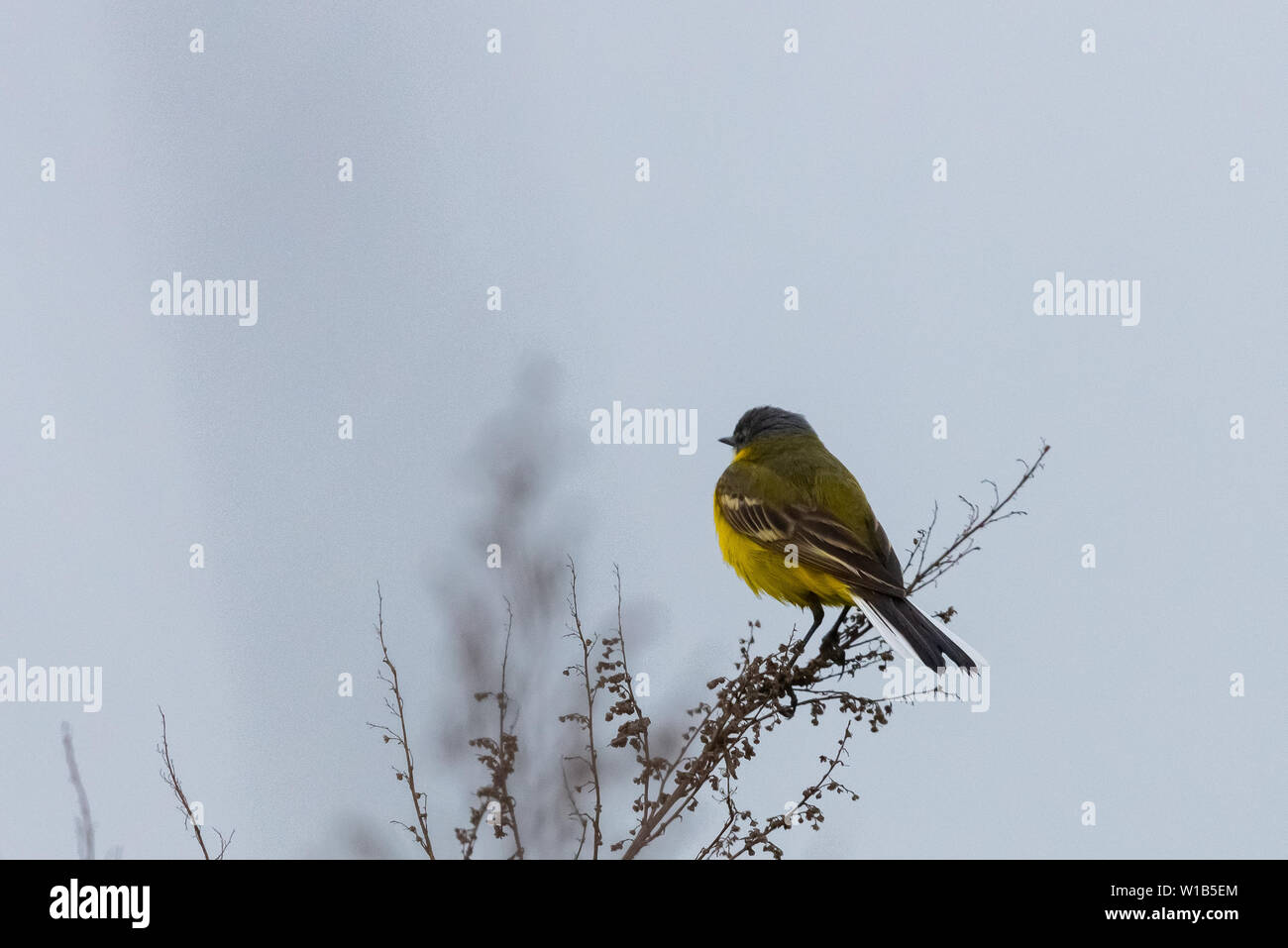 Black headed wagtail sits on a twig on a blurred background. Close up photo - Stock Image