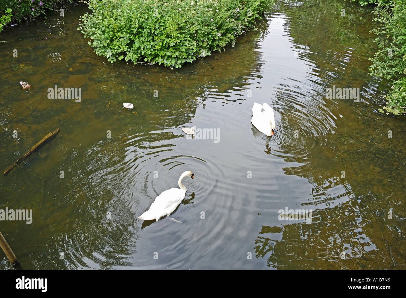Swans with cygnets on Stover lake Stock Photo