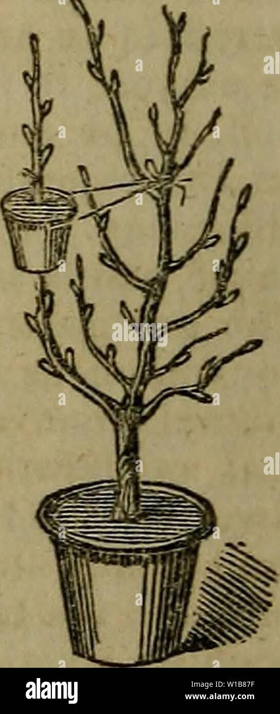 Archive image from page 339 of A dictionary of modern gardening. A dictionary of modern gardening . dictionaryofmode01john Year: 1847  LAW 344 ââ¦â LEA Turfing. If seed be employed, the fol- | to compel the returning sap to organize lowing is a good selection, and in the itself externally as roots, instead of requisite proportions for an acre. The : passing downwards below the bark as best season for sowing is during moist j wood. The bending back is to assist weather in March.  in this object by preventing the expend- On 1 acre of new lawn, sow the fol- j iture of sap in the formation or rath Stock Photo