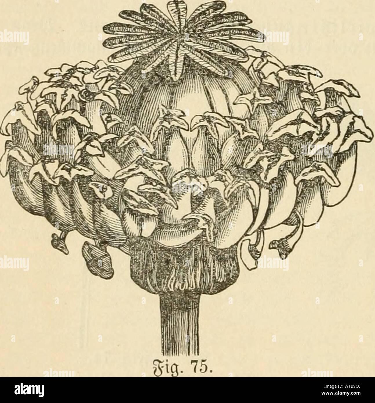 Archive image from page 343 of Die krankheiten der pflanzen, ein. Die krankheiten der pflanzen, ein handbuch fur land-und forstwirte, gartner, gartenfreunde und botaniker . diekrankheitende03fran Year: 1895  330 IL 2tbfd)uitt: ranfcilcii ol)iio nadmeiSbarc äußere Urfacl)en bcv vcprobuttinci Drgane l>l)i)nobie. anfd)aulid)t. SDenn bagegen Me Qaj btv lieber einc§ 35lattroirtel§ Der-- tiie()rt i[t, fo fprtd)t man non oh)pii)nie. Siefer gatl tritt bcfonberS t)äiifii3 in ber §onn ein, ba bei flaujen, bereu Slätter c3eiieiil'tänbig finb, ftatt ber 33Iattpaare breigliebvige Guirle erfd)eiiien, 5 - Stock Image