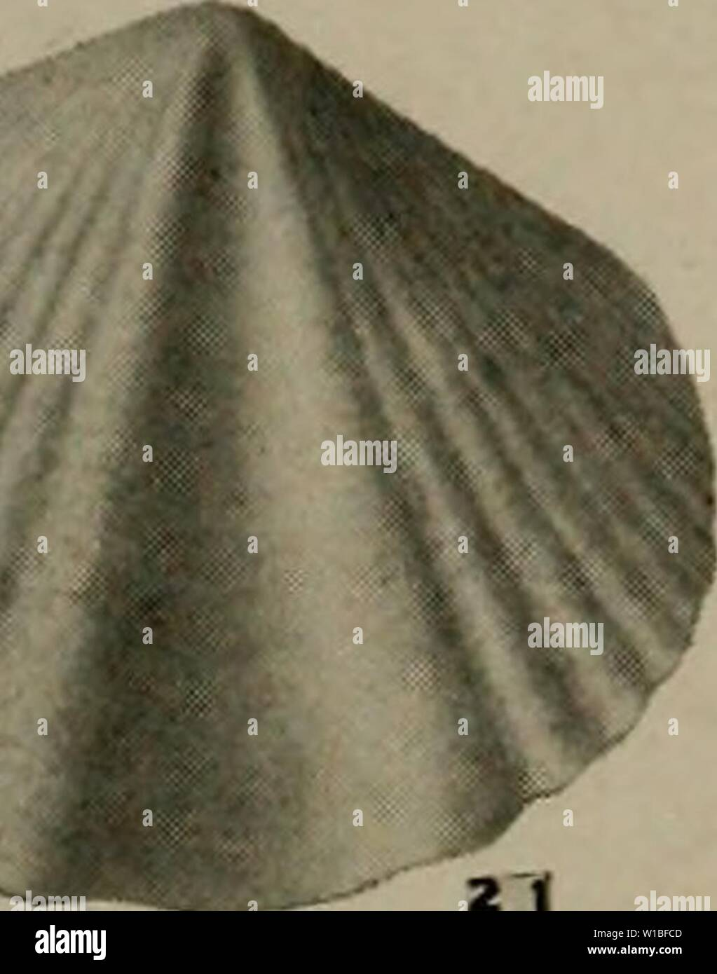 Archive image from page 388 of The Devonian of Missouri (1922) Stock Photo