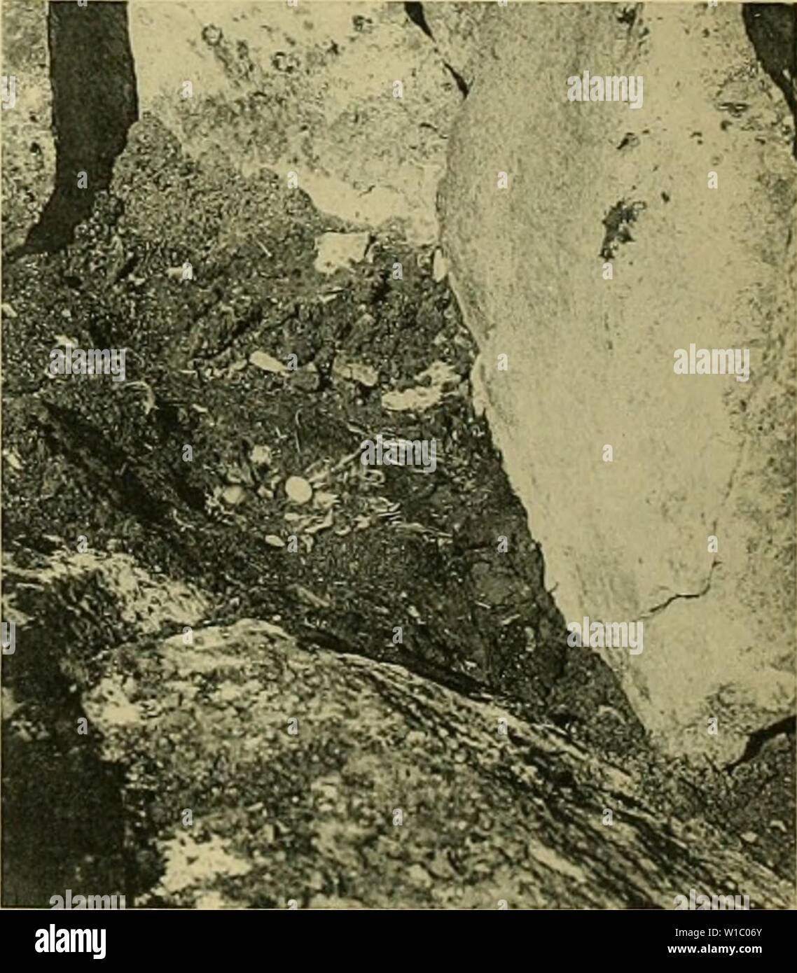 Archive image from page 482 of Deuxième expédition antarctique francaise (1908-1910). Deuxième expÃdition antarctique francaise (1908-1910) . deuximeexpdin1914fran Year: 1914  Fig. 03 Fig. 51, 52 : L. dominicanus. â Fig. 53 : Vol de M. Maccormicki. Masson & Cie, Editeurs    Fig. 5G Fig. 54 à 56 : Nids de Oceanites ocÃaniens. ClichÃs L. Gain - Stock Image