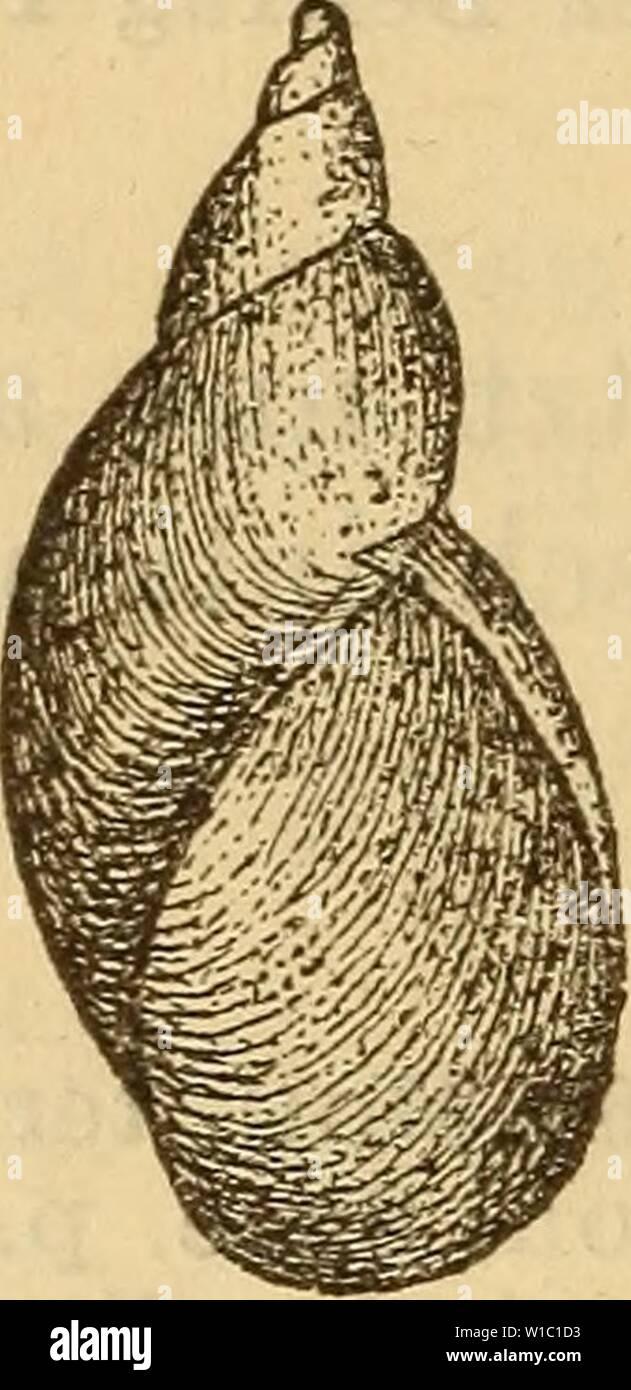 Archive image from page 497 of Die Mollusken-Fauna Mitteleuropa's (1884). Die Mollusken-Fauna Mitteleuropa's . diemolluskenfaun22cles Year: 1884  490 6. VCtr. elüta Baudon Monogr. Succ. p. 165 t. 8 fig. 6. Succinea Pfeifferi var. gracilis Baudon Nouv. cat. moll. de l'Oise 1853 p. 15. Gehäuse: verlängert, wenig gerade, zugespitzt, fest- schalig, halbdurchsichtig, fein gestreift, dunkel bernstein- farbig oder röthlich; Gewinde sehr verlängert, mit schiefer Naht, der letzte Umgang wenig gewölbt; Mündung eiför- mig, kaum die Hälfte der Gehäuselänge erreichend. Lge. 13 mm., Durchm. 4,5 mm. Fig. 329 Stock Photo