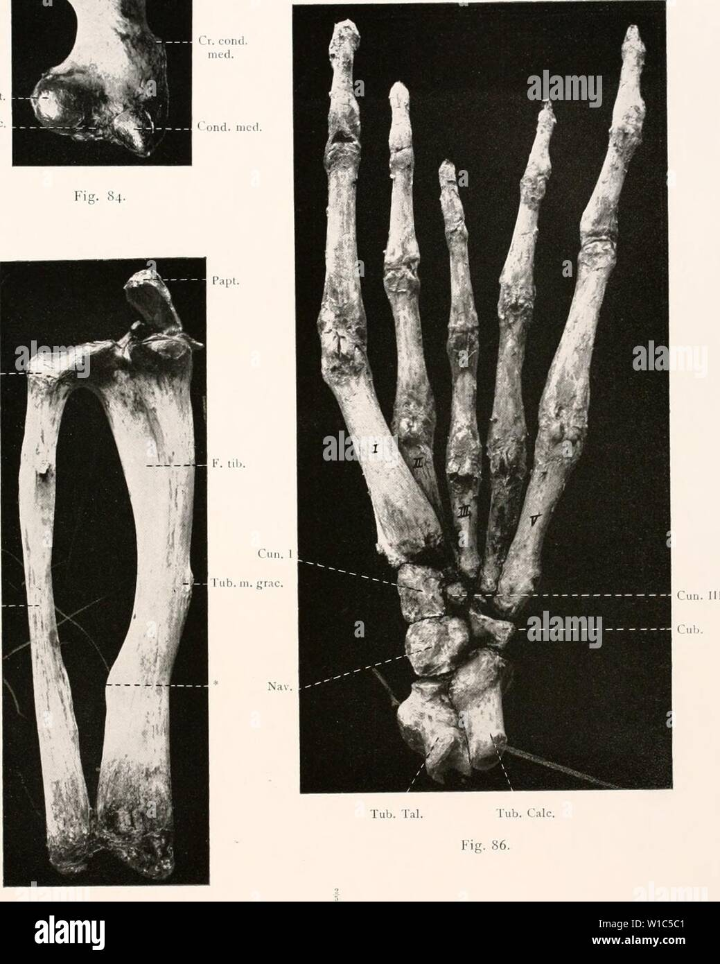 Archive image from page 530 of Deutsche Südpolar-Expedition, 1901-1903, im Auftrage. Deutsche Südpolar-Expedition, 1901-1903, im Auftrage des Reichsamtes des Innern . deutschesdpola16deut Year: 1921  Deutsche Südpolar-Expedition l'.>01â3. Band XVI Tafel LI. Tr. maj. j â¢V p J . a  m â¢.fl il. i und. lat. -Â« 1 K'. V F. interc. â â - i.>->; H 1' Cap. fem, Cap. fil Kib.    Fig. 85. Leptonychotes (erwachsen 1 Stock Photo
