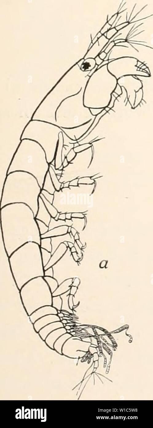 Archive image from page 536 of Deutsche Südpolar-Expedition, 1901-1903, im Auftrage. Deutsche Südpolar-Expedition, 1901-1903, im Auftrage des Reichsamtes des Innern . deutschesdpola15deut Year: 1914  Vanhöffen, Isopoden. 471 Kerguelen, gefunden. Es liegen 21 erwachsene Männchen vor, die erhebliche Größenunterschiede zeigen, zwischen 1 mm und 2,8 mm variieren. Dazu kommen 24 reife Weibchen vom Januar 1902, die 2—2,9 mm lang sind. Bei mehreren von diesen wurden bis zu 15 Eier im Brutsack gezählt. Daneben fanden sich noch 154 Weibchen ohne Marsupium und junge Tiere, die zusammen mit den erwachsen Stock Photo