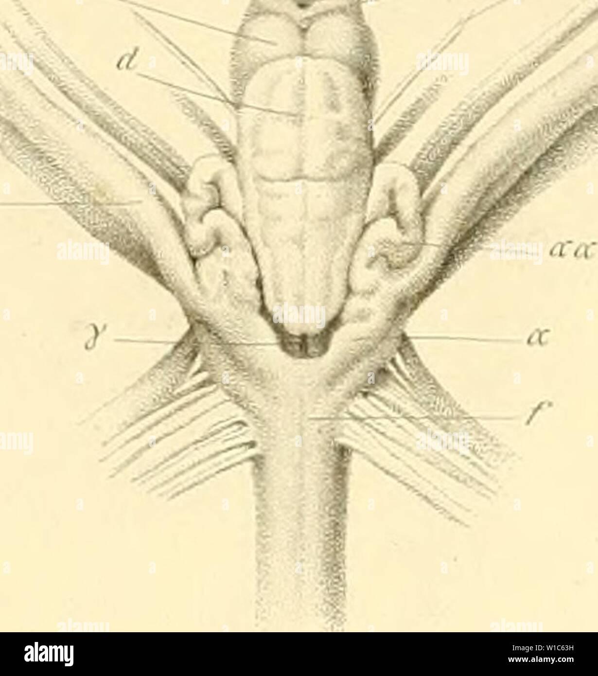 Archive image from page 54 of De selachiorum et ganoideorum encephalo Stock Photo