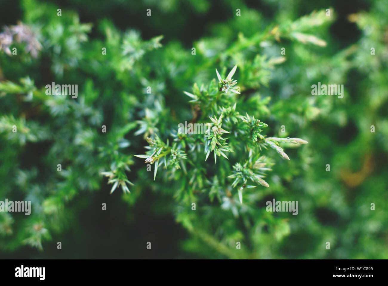 Thuja tree branches, thuja evergreen coniferous tree. - Stock Image