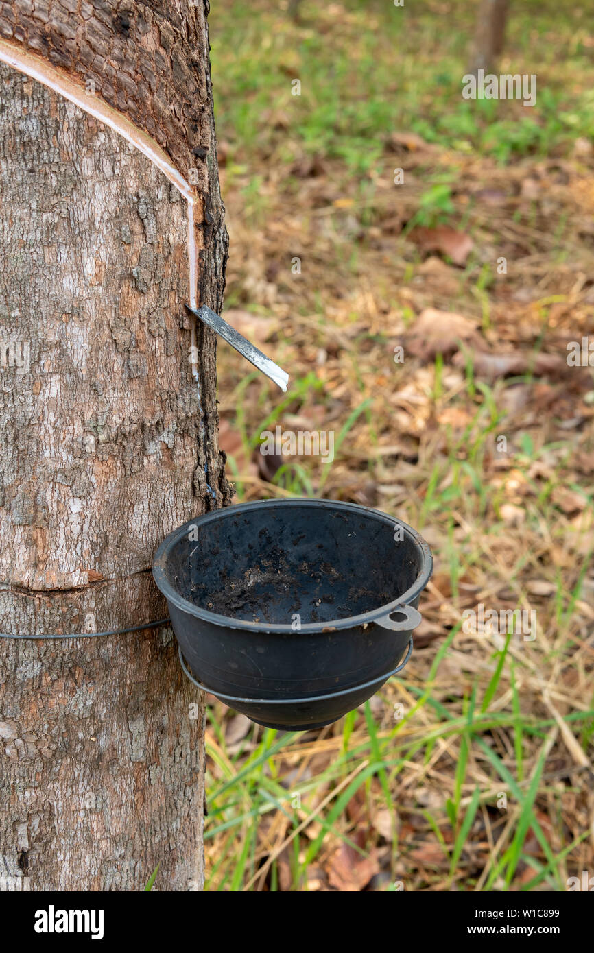 Tapping latex rubber tree, Rubber Latex extracted from rubber tree. - Stock Image