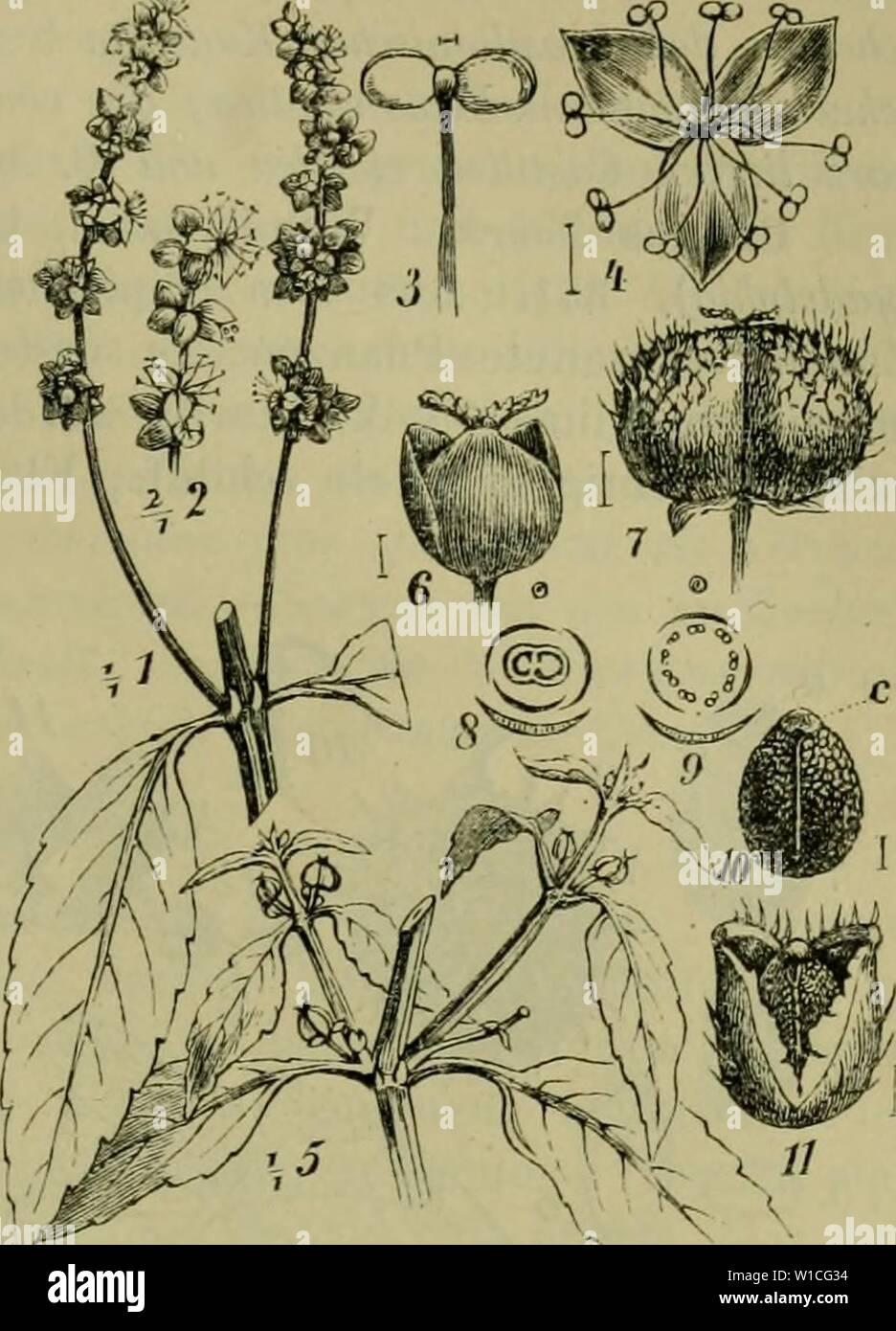 Archive image from page 632 of Deutsche Flora Pharmaceutisch-medicinische Botanik Ein Stock Photo