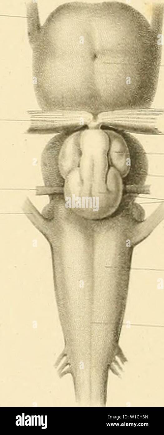 Archive image from page 65 of De selachiorum et ganoideorum encephalo Stock Photo
