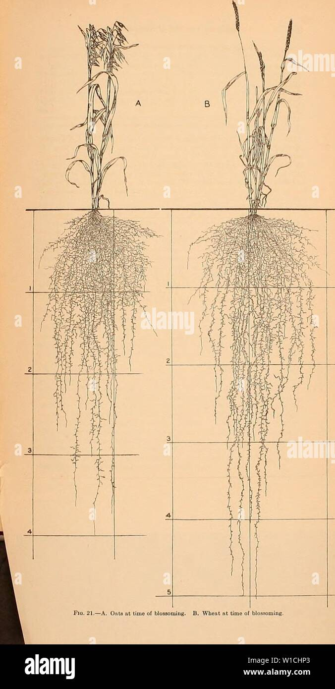 Archive image from page 66 of Development and activities of roots. Development and activities of roots of crop plants; a study in crop ecology . developmentactiv00weav Year: 1922 Stock Photo