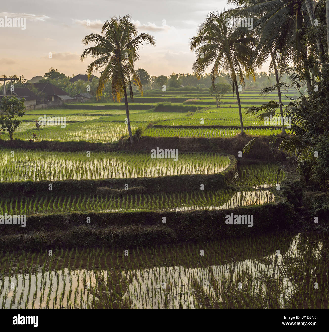 Rice field in sunrise time for background - Stock Image